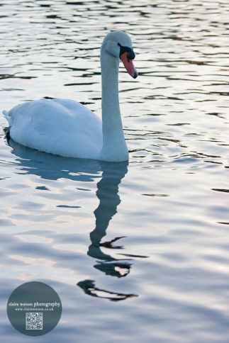 Swan reflected in water
