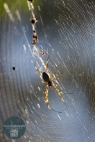 backlit spider in web