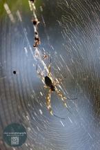 backlit spider in web