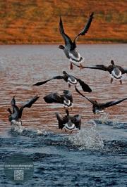 geese take-off Pentlands