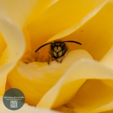 wasp in yellow rose