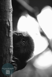 black and white monkey