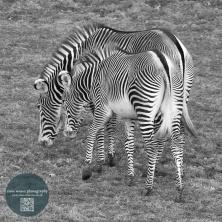 Zebra Edinburgh zoo